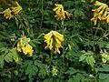 Pseudofumaria lutea 2015-06-20 3413.jpg