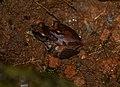 Pseudophilautus wynaadensis-Amplexus.jpg