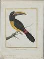 Pteroglossus viridis - 1700-1880 - Print - Iconographia Zoologica - Special Collections University of Amsterdam - UBA01 IZ19300244.tif