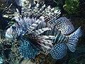Pterois volitans.003 - Zoo Aquarium de Madrid.JPG