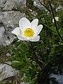 Pulsatilla alpina subsp schneebergensis - Alpen-Küchenschelle.jpg