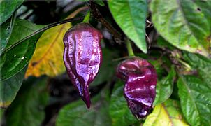 Purple Bhut Jolokia Ghost Pepper.jpg