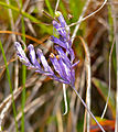 Purple Flower (Burmannia sp.) (15588219459).jpg