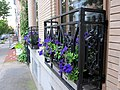 Purple Petunias on Third Street - panoramio.jpg