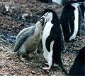 Pygoscelis antarctica feeding a chick.jpg