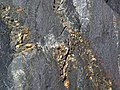 Pyrite crystals in magnetite-quartz banded iron formation (Temagami Iron-Formation, Neoarchean, ~2.736 Ga; Temagami North roadcut, Temagami, Ontario, Canada) 12 (32864677237).jpg