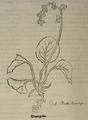 Pyrola rotundifolia.png