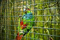 Pyrrhura cruentata -Harewood Bird Garden, Leeds, England-8a (1).jpg