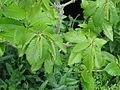Quercus pontica (17909040942).jpg