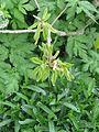 Quercus pontica - Flickr - peganum (1).jpg