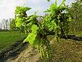 Quercus robur Bobrovnya2.JPG