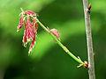 Quercus rubra Kiev.jpg