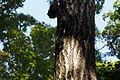 Quercus serrata (22357301129).jpg