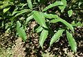 Quercus serrata subsp. serrata (Quercus glandulifera var. brevipetiolata) - Arnold Arboretum - DSC06854.JPG