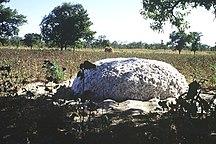 Mali-Agricoltura e allevamento-Récolte coton