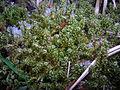 RHYTIDIADELPHUS SQUARROSUS (Hedw.) Warnst.-Kostrbatec zelený(2).jpg