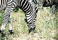 RSA Zebra.jpg