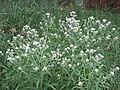 Rabbit Tobacco Sweet Everlasting Pseudognaphalium obtusifolium Ocean County New Jersey 200920 BLaboy.jpg