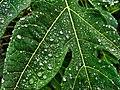 Raindrops in leaf.jpg