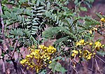 Ranawara or Avaram- Senna auriculata at Sindhrot near Vadodara, Gujrat Pix 044.jpg
