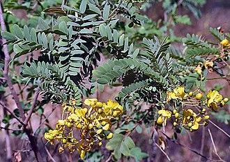 Senna auriculata - at Sindhrot near Vadodara, Gujarat