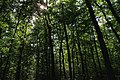 Random forest - panoramio.jpg