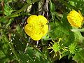 Ranunculus arvensis Semillas Valderrepisa 2011-05-14 SierraMadrona.jpg