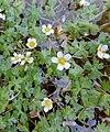 Ranunculus peltatus kz1.jpg
