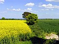 Rapeseed and Wheat Farmland near Rowstock and Harwell - geograph.org.uk - 10273.jpg