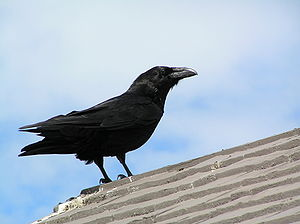 http://upload.wikimedia.org/wikipedia/commons/thumb/a/a6/Raven.JPG/300px-Raven.JPG