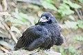 Raven Fledgling.jpg