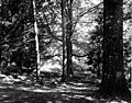 Ravenna Park, ca 1905 (SEATTLE 1585).jpg