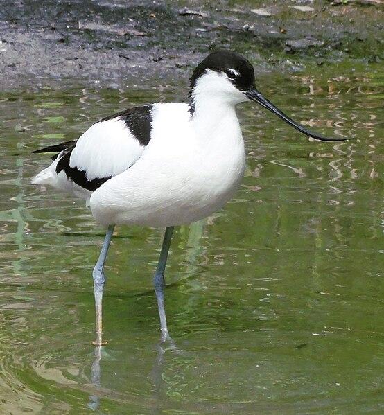 554px-Recurvirostra avosetta - Zoo Frankfurt 4