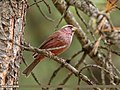 Red-Mantled Rosefinch (Carpodacus rhodochlamys) (39644627633).jpg