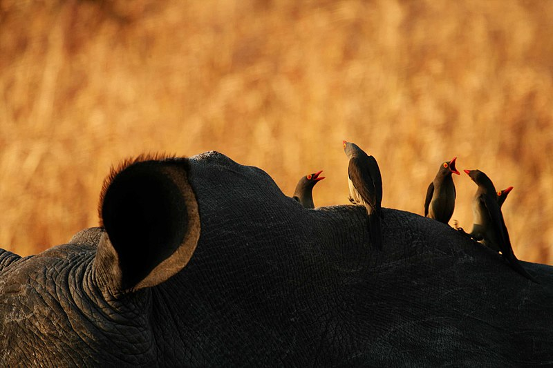 Red billed Oxpeckers on a rhino in South Africa. Photo by Lee R. Berger.