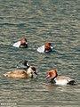 Red-crested Pochard (Netta rufina), Common Pochard (Aythya ferina) & Eurasian Coot (Fulica atra) (32487092440).jpg