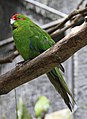 Red-crowned Parakeet 2 (30836774724).jpg