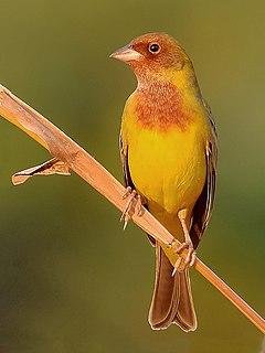 Red-headed bunting species of bird