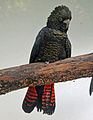 Red-tailed Black Cockatoo RWD2.jpg