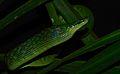 Red-tailed Green Rat Snake (Gonyosoma oxycephalum) (8678546772).jpg