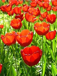 Tulip, taken in Beijing Yat-sen Park
