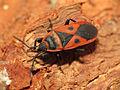 Red Bug (15918352508).jpg