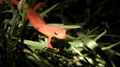 Red Eft (Notophthalmus viridescens) (5880281925).png