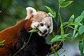 Red Panda (36831235353).jpg