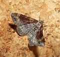 Red Twin-spot Carpet. Xanthorhoe spadicearia - Flickr - gailhampshire (6).jpg