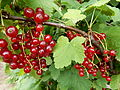 Red currant berries.JPG