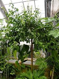 Red stinkwood - US Botanic Gardens - Stierch.jpg