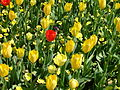 Red tulip amongst yellow tulips.JPG