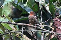 Redfrontedantpeckerfemale