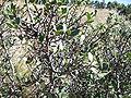 Rhamnus alaternus,Aladern.jpg